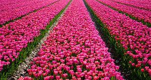 Tulpen landschap