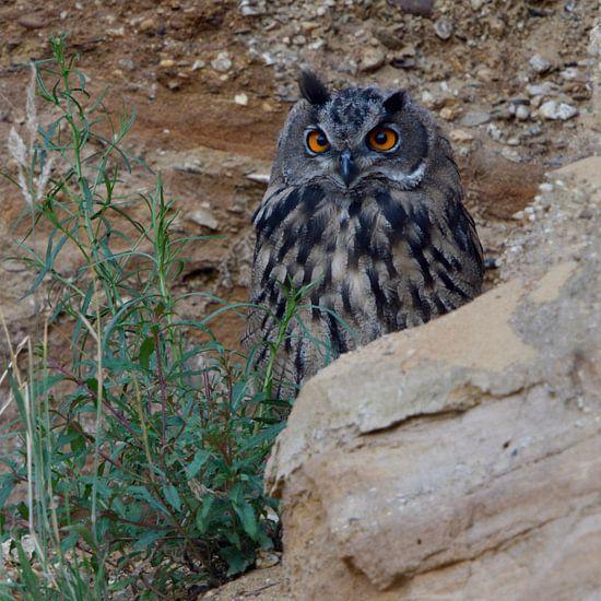 Eurasian Eagle Owl ( Bubo bubo ), grown up, resting, hiding behind rocks