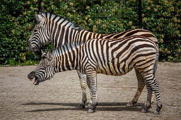 Twee zebra's in een dierentuin van Joost Adriaanse