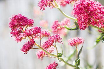 Roze bloemen aan de Franse kust van Evelien Oerlemans