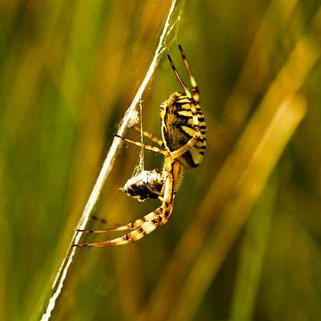 Tigerspinne mit Beute von Marko | Bestemming Buitenlucht