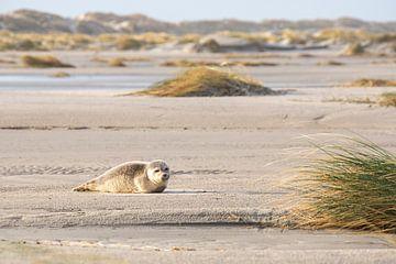 Robbe sonnt sich am Strand von Anja Brouwer Fotografie