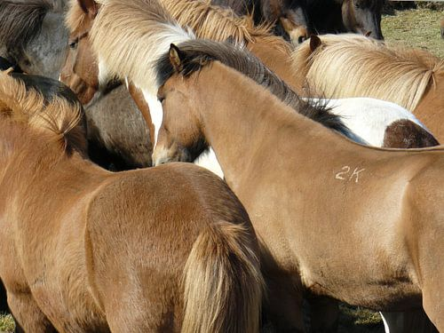 icelandic horses van
