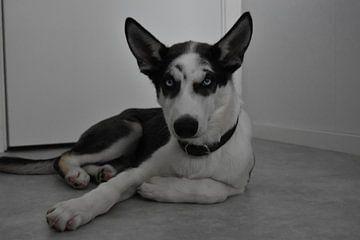 Siberische husky puppy van Christer Andersson