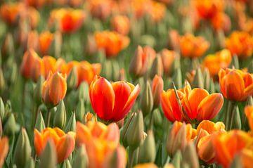 Tulpen! van Evelien Heuts-Flachs