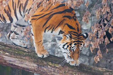 Un beau et fort tigre en gros plan. Un tigre sur un arbre tombé, sur fond de plantes et de roches fa sur Michael Semenov