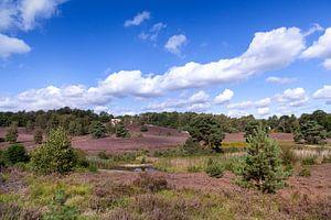 Paarse pracht op de Brunsummerheide in de zomer van Nel Diepstraten