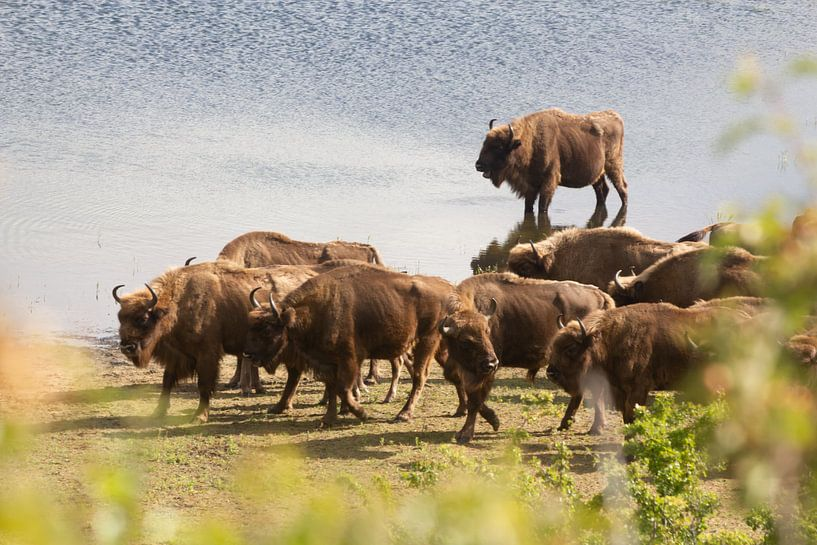 Kudde bizons aan het water   Kraansvlak, Noord-Holland van Dylan gaat naar buiten