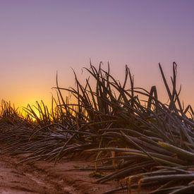 Champ d'oignons au lever du soleil à Simpelveld sur John Kreukniet