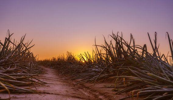 Uienveld bij zonsopkomst in Simpelveld