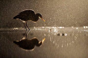Nachtelijke vissende Blauwe Reiger (Ardea cinerea) van AGAMI Photo Agency