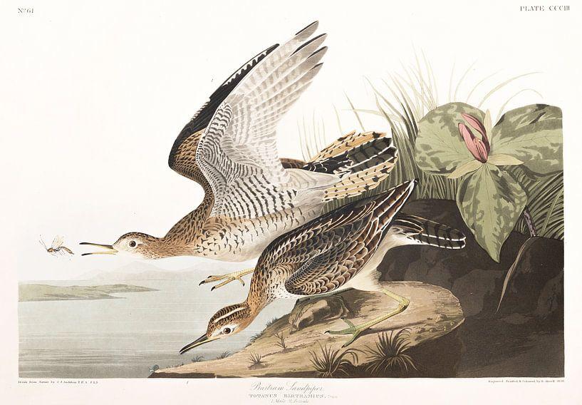 Prärieläufer von Birds of America