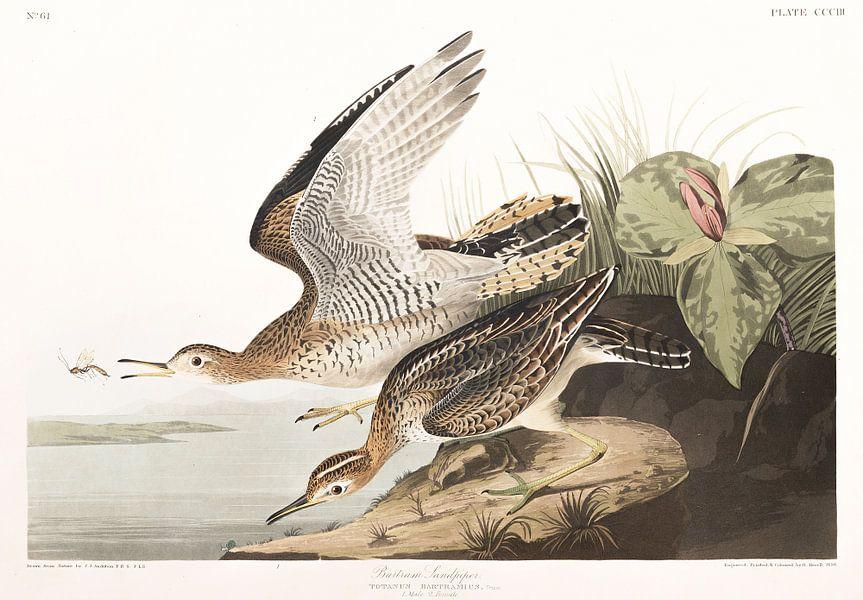 Bartrams Ruiter van Birds of America