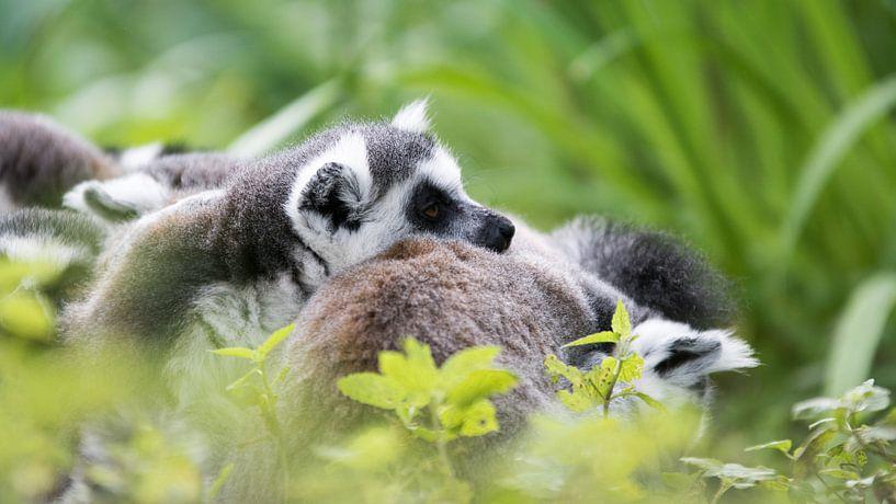 Madagascar aapjes van Barend de Ronde