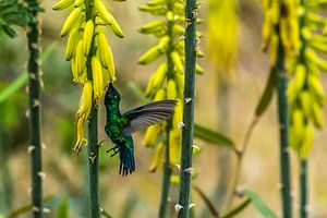 Zwartstaart kolibrie van