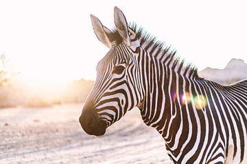 Zebra im Gegenlicht in Namibia van