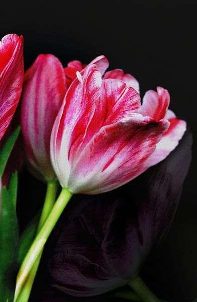 Tulpen bicolor van Rosi Lorz