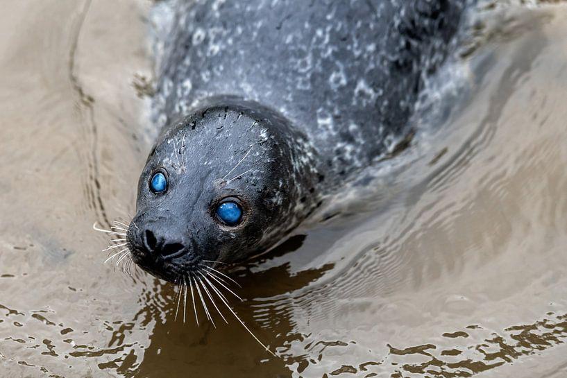 Zeehond blauwe ogen van Steven Dijkshoorn