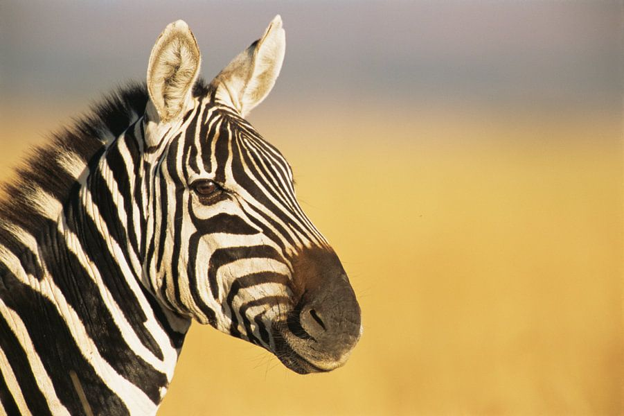 Portret van een Gewone zebra of Steppezebra (Equus quagga) in close-up van Nature in Stock