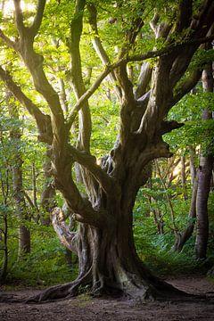 Alter Baum auf Insel Rügen von Martin Wasilewski