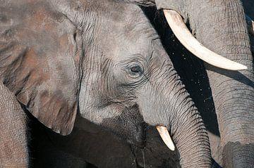 Elefanten-Portrait von Jos van Bommel