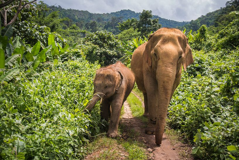 Aziatische olifanten in de Jungle van Peter Zendman