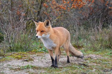 Fuchs in den Dünen bei Den Haag von My Footprints