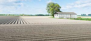 Aardappelveld in het voorjaar
