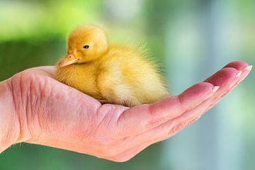 Gelb neugeborenen Küken von weiße Ente sitzt auf Hand sur Ben Schonewille