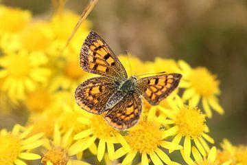 Ein gelber Schmetterling bestäubt eine gelbe Blume in Neuseeland von Lau de Winter