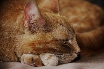 Rode kat / Red cat von Erwin Zwaan