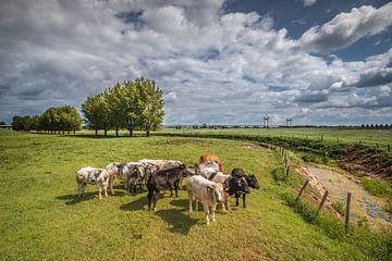 Nieuwsgierige Koeien in de polder bij PW Alexanderbrug Echteld van Moetwil en van Dijk - Fotografie