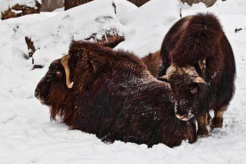 Im Schnee liegt eine Gruppe von behaarten Moschusochsen, Tiere des hohen Nordens. von Michael Semenov