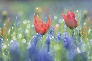 Tulpjes en blauwe druifjes in een bont mengsel, dromerige sfeer, flowerpower van