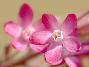 Lente... De Ribes bloeit..! van Caroline Lichthart
