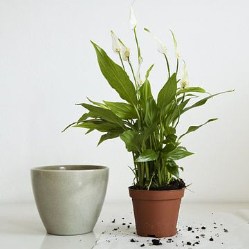 spathiphyllum 3 van Hetty Oostergetel