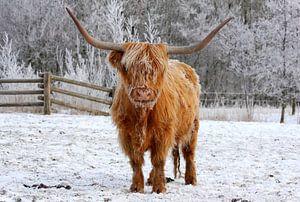 Cow von Anne Koop