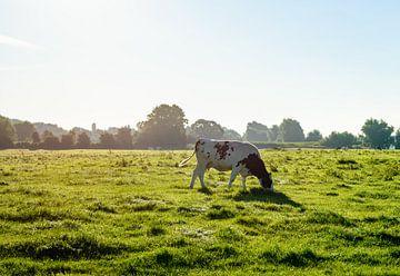 Tegenlichtopname van een grazende koe van Ruud Morijn