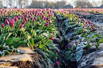 Tulpenfeld Drenthe