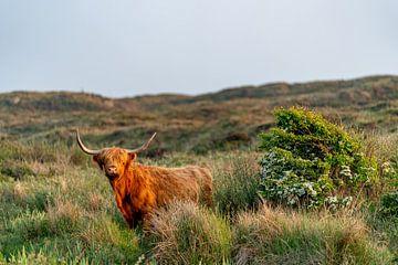 Schotse Hooglander bollenkamer Texel van Texel360Fotografie Richard Heerschap