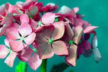 Roze hortensia van Nannie van der Wal