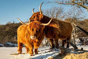 Twee Schotse hooglanders genieten van de zon. van MICHEL WETTSTEIN