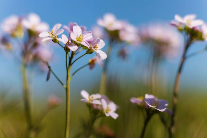Pinksterbloemen van Willemke de Bruin