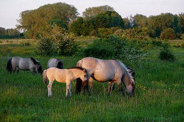 Pferde im Abendlicht von Herman Peters