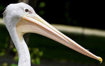 Pelikan Potrait