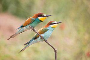 Vogels | Bijeneters - Griekenland