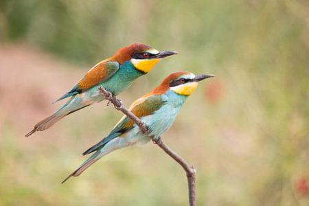 Vögel | Zwei Bienenfresser - Griechenland