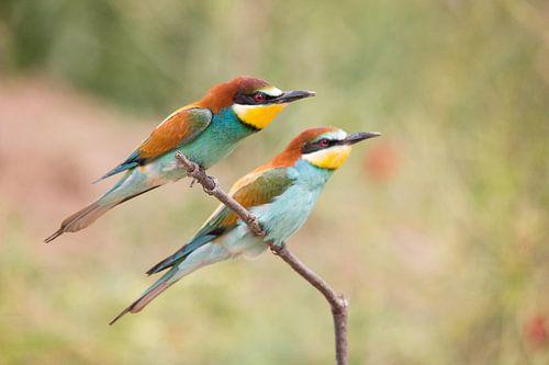 Vogels | Bijeneters - Griekenland van