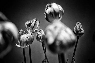 Tulpen von Pierre Verhoeven