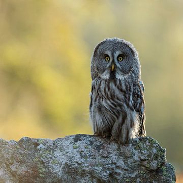 Great Grey Owl * Strix nebulosa * van wunderbare Erde
